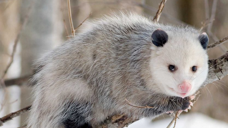 Los Angeles animal removal service for opossum