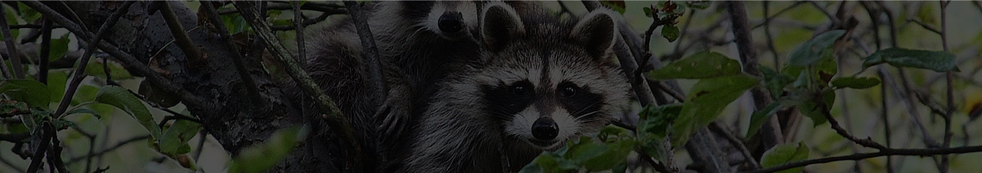 raccoon removal los angeles