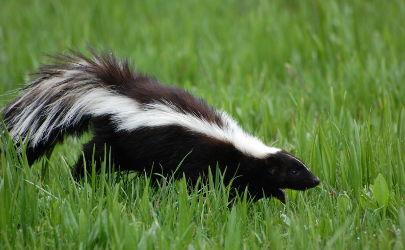 Pee-Ew! What to Do If a Skunk Gets in Your Los Angeles Home