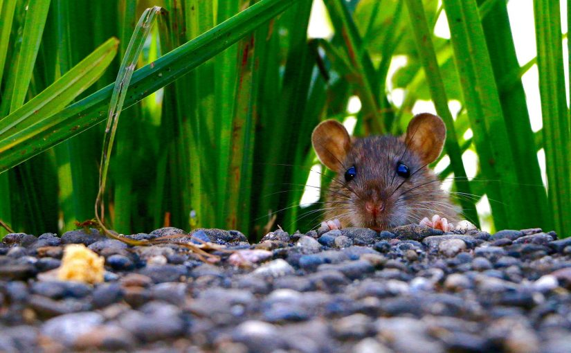 How to Get Rid of Rats and Mice in Your LA Home